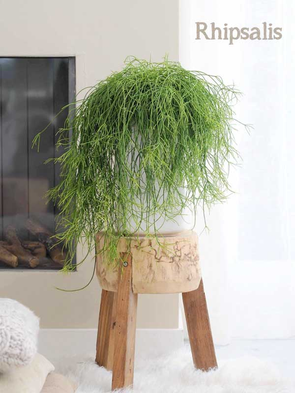 rhipsalis hangplant op houten krukje voor de haard in witte inrichting