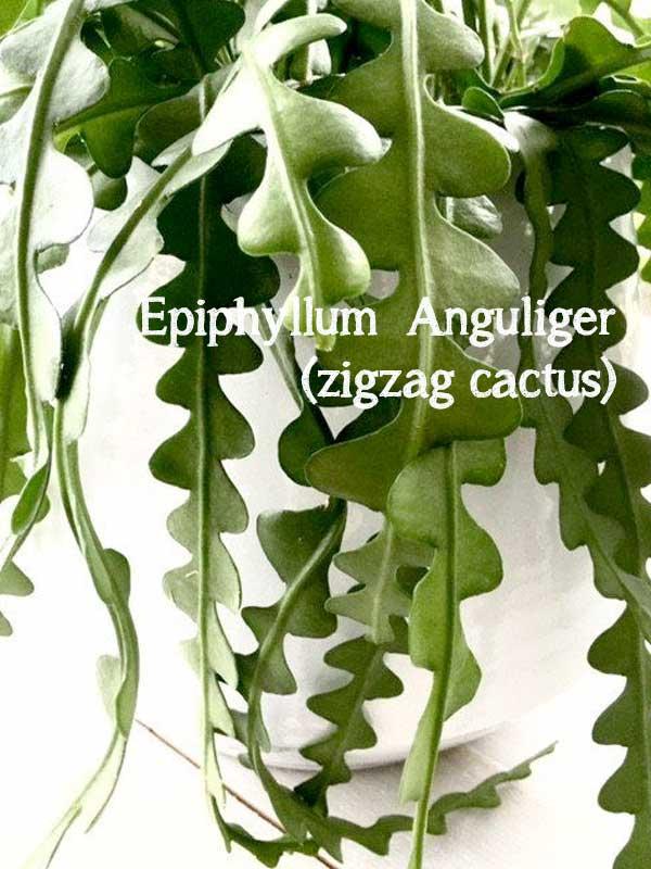 Epiphyllu Anguliger zigzag cactus bijzondere vetplant zigzagblad