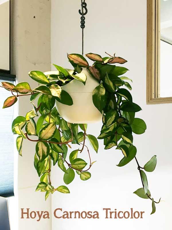 Hoya Carnosa Tricolor hangplant in witte elho plantenhanger kantoorplant