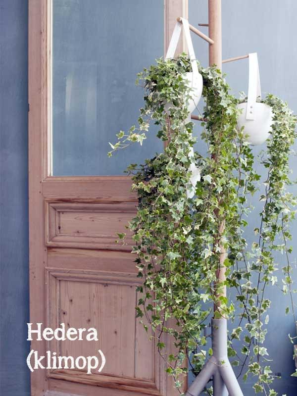 hedera klimop hangplant hangend in wit plantenmandje aan kapstok