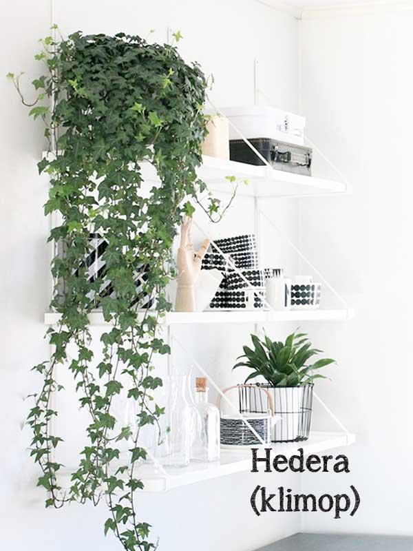 klimop hangplant Hedera, valt weelderig langs een zwarte wit gestylde plankenwand