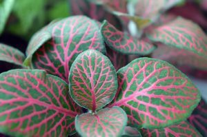 fittonia close up kleurig roodgroen blad storyplanter