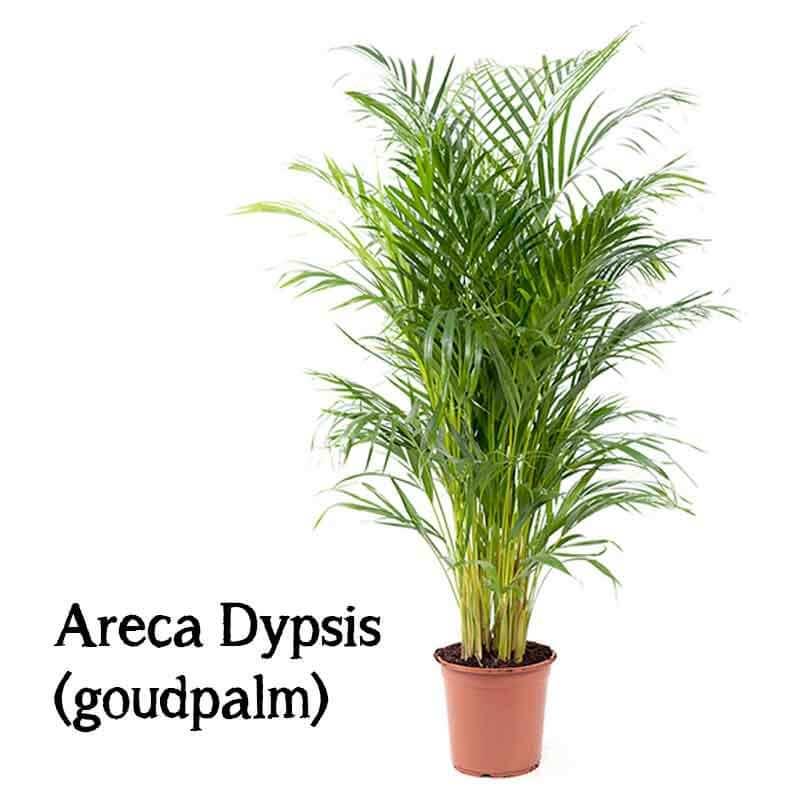 grote makkelijke plant kopen goudpalm areca